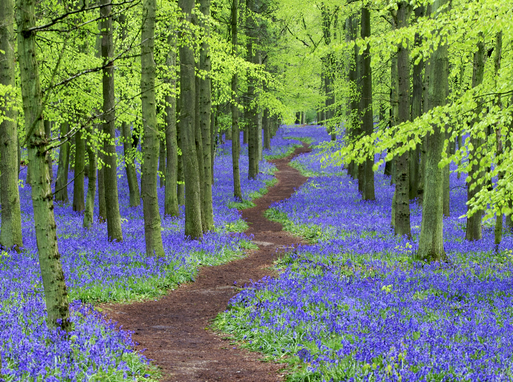Calming photo of winding path through trees and bluebell woods